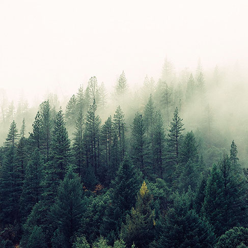 Pine trees in dense forest covered with fog